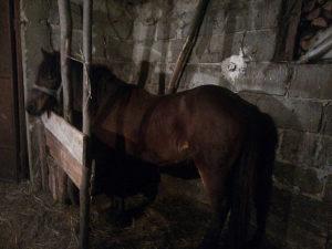 Prodajem konja (zdrijebac)