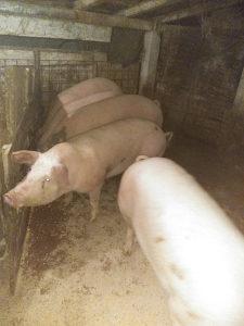 Svinje 170kg