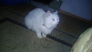 Perzijsku bijelu macku