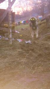 Kavkaski ovcar