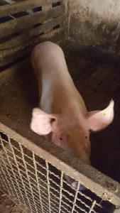 Svinje krmača
