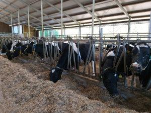 Posao - Radnik na farmi krava