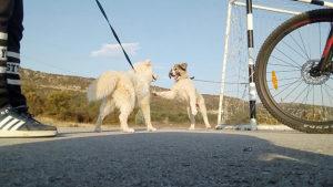 Tornjak pas
