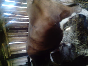 Krava Živinice