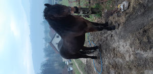 Konj jadran