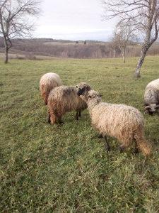 Mjenjam ovcicu za jarca