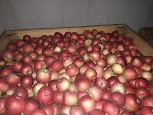 Jabuke Ajdared u hladnjači u boksovima