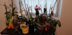 Orhideje 20 kom sa vazama