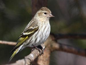 Ptica cajzla