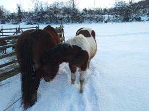 Kobila I zdrijebe musko