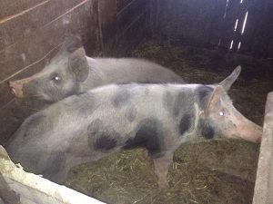Svinja 100-120 kg