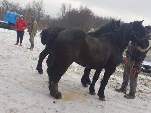 Konji vranci rasprodaja