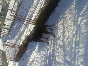 lovacki psi ,balkanac