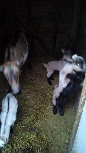 Na prodaju koza sa troje jaradi