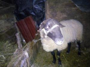 Prodajem ovna