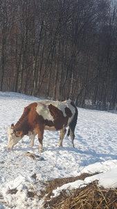 Krava za zaklati
