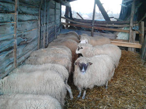 Ovce sa jagnjadima sjagne i jalove