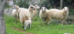 Ovce janjci
