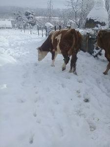 Krava simentalka