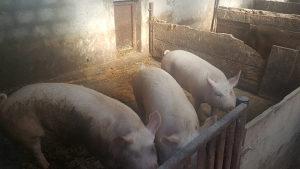 Svinje, ranjenici