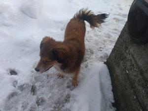 Pas domaca zivotinja