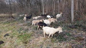 Prodajem 24  mlade koze