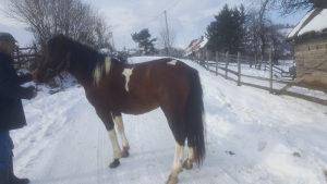 Prodajem sarenog konja