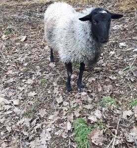 Romanovske ovce (ovnic 7 mjeseci)