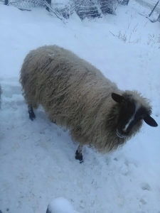 Domaća životinja ovca