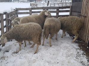 Ovce winterbeg sjajna 6komada mlade