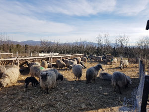 Ovce 80 komada plus janjci