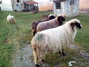 Na prodaju 4 ovce cjena po dogovoru