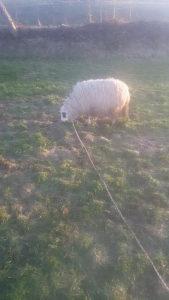 ovca sjajna zacinje