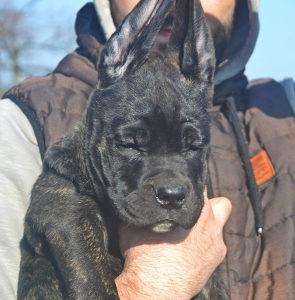 Cane Corso - muško štene
