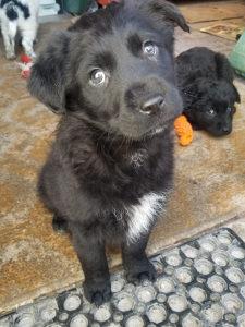 Štene ženka/Female puppy