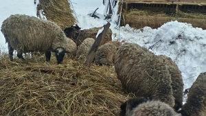Romanovske ovce,ovnovi i jagnjad