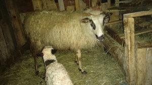 Ovca i janje 20 dana staro