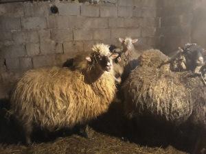 Ovce pramenka.romanovske ( 7 ovaca i ovan )