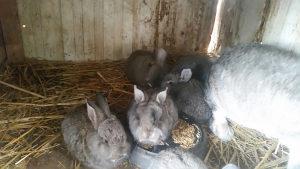 Orijaši zečevi čistokrvni