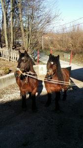 konji dorati