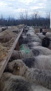 Ovce 75 komada plus janjci