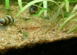 Babaulti Shrimp  - Tiger crveni (Caridinia Babaulti)