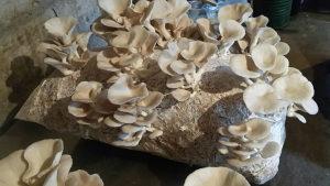 Micelij gljive bukovače
