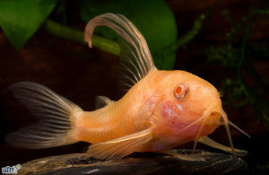 Corydoras paleatus - Albino