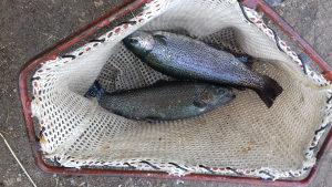 Ribe za mrijest