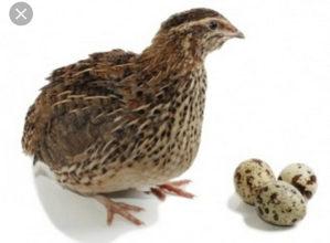 Prepelicja jaja - prodaja