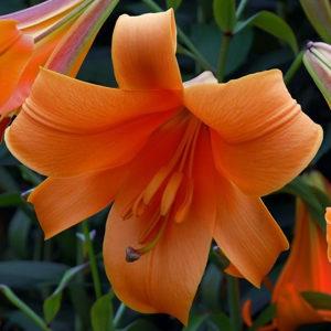 SADNICE ljiljana u narandzastoj boji