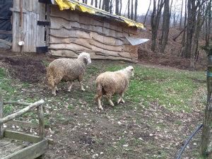 Ovce,prodaja