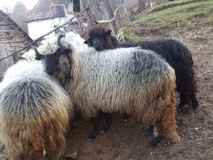 Ovce ovan