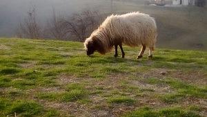 Prodajem ovcu sa janjetom